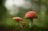 Stages.. (Bomonsted) Tags: bokeh bokehlicious carlzeiss makro planar 100mmf2 mushroom flyagaric