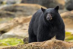 George (Melanie Leeson) Tags: canadianwildlife melanieleesonwildlifephotography mammals blackbear northamericanwildlife mammalsofnorthamerica britishcolumbiawildlife blingsister george