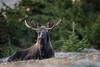Bull Moose (Outback Photo Adventures) Tags: moose bullmoose alaska ak rut sun bull animal nature 5dsr 5d 5ds wildlife 1dxmarkii 200mm f2 f20 canon usa america