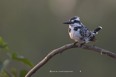 Pied Kingfisher (T@hir'S Photography) Tags: pied kingfisher sunrise morning wildbird wildlife nature outdoor travel birding piedkingfisher africa animal animalbodypart animalwildlife animalsinthewild bird blackandwhite branch freshwaterbird horizontal hunting kenya lake lakenaivasha nopeople outdoors pakistan perch photography piedmontitaly sunrisedawn water aerialview animalthemes beautyinnature divingboard krugernationalpark looking multicolored nationallandmark perching photographythemes piedmontpark publicpark royalliverbuilding safarianimals south southafrica southernafrica tree wildernessarea wildlifeconservation wildlifereserve younganimal