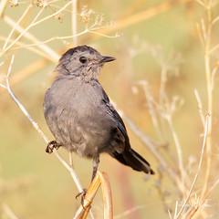 "Catbird In Capt Morgan Pose (dcstep) Tags: bird catbird greycatbird grey aurora colorado unitedstates us n7a0693dxo canon5dmkiv ef500mmf4lisii allrightsreserved copyright2017davidcstephens dxoopticspro114 ""cherry creek state park"""