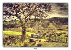 SNOWDONIA NATIONAL PARK (4) (régisa) Tags: arbre snowdonia park galles wales cymru gwynedd betwsycoed mouton sheep