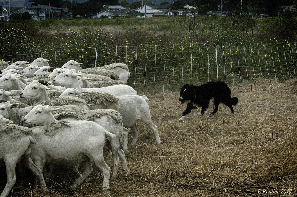 Herd Dog Training Texas