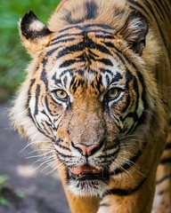 Face time with Langka (Paul E.M.) Tags: sumatrantiger sandiegozoosafaripark stripes tigertrail tigerconservation endangered