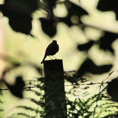 Silhouette (Baz2016) Tags: calming moody lighting art shadow darkness birdpictures robin