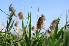 Grass (superzookeeper) Tags: 5dmk4 5dmkiv hk hongkong canoneos5dmarkiv ef2470mmf28liiusm namsangwai grass eos yuenlong digital favorites bokeh