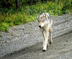 Lone Wolf (Traylor Photography) Tags: alaska denalinationalpark wildlife parkroad lonewolf dog igloo canine nature wolf closeup animal healy unitedstates us