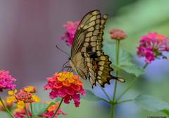 Giant Swallowtail (Summerside90) Tags: insects butterflies giantswallowtail august summer backyard garden lantana nature wildlife ontario canada