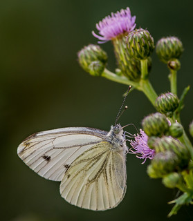 DSC1910  Green Veined White..