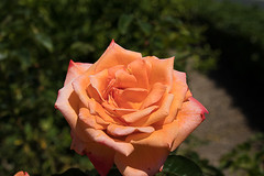 2017-223 Peach Colored Rose