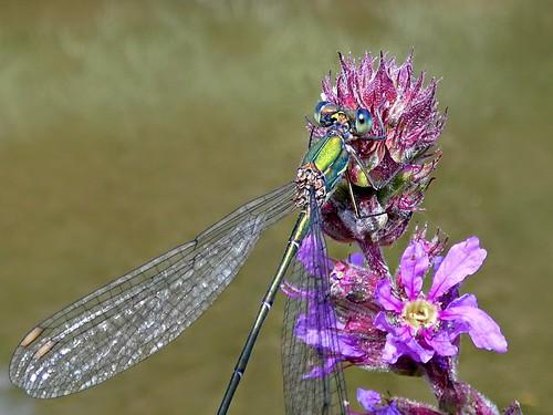 Chalcolestes viridis  ♂
