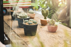 close up little  cuctus (phatharapol) Tags: background beautiful bloom botanical botany cactus closeup color decoration desert flora flower fresh garden green grow growth natural nature outdoor plant pot small summer white