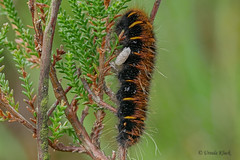 Raupe des Brombeerspinners (Oerliuschi) Tags: butterfly nachtfalter falter schmetterling natur brombeerspinner raupe