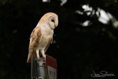 Signs of the Hunt (JDS-photo) Tags: barnowl tytoalba owl wildbarnowl nature bird birdofprey wildowl barny sign wildlife listening lightroom canoneos80d canonef400mmf56lusm