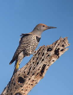 Gilded Flicker female Elephant head pond az.