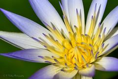 Waterlily (Kelley&Kelley) Tags: florida flower closeup macro waterlily lily nature nikon nikond7200