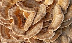 big mushroom (FotoTrenz NRW) Tags: mushroom fungus pilz baumpilz schwamm natur outdoor makro gelb braun struktur wald herbst abstract