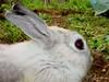3 (Protty coniglio nano) Tags: coniglio conigli protty bunny bunnies rabbit rabbits kaninchen lapin coniglietti coniglionano prottyit coniglinani oryctolagus oryctolaguscuniculus