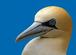 Jan - van - gent  -  Northern gannet - Marus bassanus