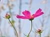 Pink Cosmea (Corine Bliek) Tags: cosmeabipinnata bloem flower pink roze blooming bloeien wild