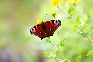 Paon du jour - Peacock  butterfly - Aglais Io