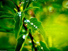 Morning Glory; Pearls  (Explored) (Baburam Bhattarai) Tags: macro depth field leaf plant water depthoffield bokeh blur grass pattern texture outdoor green rain dew drop drops droplet drip drips nature dewdrops abstract leaves tree