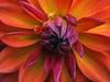 orange pippin dahlia, macro (saxonfenken) Tags: orange red dahlia macro heart 6677flower 6677 challengeyouwinner tcf pregamewinner