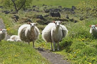 2017 06 VOGAR (Islande)_98895R Moutons