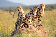 Three young male cheetahs on a rock in Pilanesberg reserve, South Africa (Knud Hald) Tags: blackrhinolodge knudhald limpopo outdoor pilanesberg pilanesbergsouthafrica2017 safari southafrica wildlife albatrostravel canon canonef400mmf56lusm canon6d ef400mmf56lusm beautiful fauna acinonyxjubatus cheetahs gepard wild ngc naturewatcher nature naturemasterclass naturelover 3 three coth