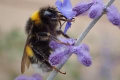 Bumblebee on lavender (libra1054) Tags: bumblebees hummeln bourdons abejorros abelhâos bombi lavender lavendel lavanda lavande insects insekten insectos insetti insectes macro outdoor