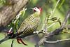 Pica-pau-verde-barrado (Maria*_*) Tags: colaptesmelanochloros picapauverdebarrado