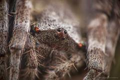 Demon Guard (Sula's Memories(සුලාගේ මතකයන) Tags: nature macro wildlife animal inset creature closeup spider square eyes corners sulaphotography hairy best