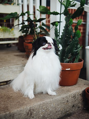 Bunny (BurlapZack) Tags: olympusomdem5markii panasonicleicadgsummilux25mmf14 vscofilm pack01 dentontx house housewarmingparty backyard pup pupper puppy dog doggy doggo doggerino japanesechin stairs pooch succulents garden yard party availablelight bokeh dof microfourthirds