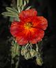 Shades of Red (MrBlueSky*) Tags: flower plant petal garden nature horticulture outdoor colour kewgardens royalbotanicgardens london aficionados pentax pentaxart pentaxlife pentaxk1 pentaxawards pentaxflickraward