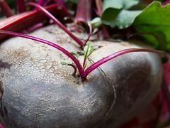 Monstrous beetroot (Elise de Korte) Tags: fr france frankrijk ldf lafrance beet beetroot betteraves biet bietjes groente groentetuin harvest harvst légumes moestuin oogst plant potager récolte vegetablegarden vegetables veggiegarden