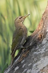 Picchio Cenerino (Ricky_71) Tags: greyheaded woodpecker picchio cenerino picus canus