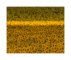 Sea of Sunflowers (Vemsteroo) Tags: sunflowers sun sunrise flowers france crops agriculture morning canon 7d mkii 100400mm bright vibrant yellow beautiful harvest charente outdoors travel colourful nature