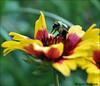 Push Ups (John Neziol) Tags: jrneziolphotography nikon nikondslr nikoncamera nikond80 nature wildlife wings bumblebee bokeh brantford beautiful bright bee macro outdoor odd flower florafauna garden blanketflower pollen portrait insect