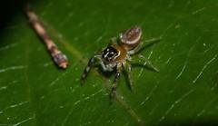 Opisthoncus sp. nova (dustaway) Tags: arthropoda arachnida araneae araneomorphae salticidae opisthoncus tamborinemountain jumpingspider 2spotbigjawsouthern queensland australia australianspiders