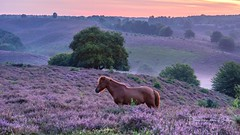 Early meeting (Ellen van den Doel) Tags: weather zonsopkomst natuur sunrise myst veluwe nature mist boom nederland berg paard hill heuvel animal outdoor sun summer 2017 clouds landschap augustus horse heide tree netherlands dier heather posbank landscape mountain rheden gelderland nl