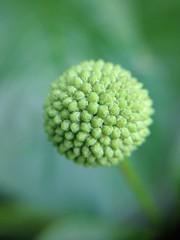 (Espykrelle) Tags: jardinbotanique flower garden botanicalgarden montreal plant green vert 7dwf flora nature