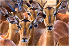 Impala's Kruger Park - South Africa (peterszustka) Tags: kruger soutafrica africa animal danger nature freedom big5 big sun impala animals gold horns impalas