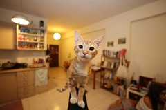 The Potzim Cat 2nd Gen, Young, curious and strong. (ohirshfeld) Tags: cat ginger kitten cute small young chair apartment pet gingercat red
