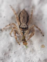 Do you mind! I'm eating here! (Friendly Foe) Tags: spider arachn jumping macro small 8legged freaks bugs hairy feed eat eating catch cathoftheday stare critters olympus