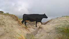 On the Dunes. (mcginley2012) Tags: cow dunes sand bizarre ireland beach dogsbay cameraphone