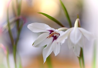 Light lillies