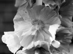 Stokroser (holtelars) Tags: pentax 645 pentax645 645n 6x45 smcpentaxa 120mm f40 120 film 120film foma fomapan fompan100 fompan100professional 100iso mediumformat analog analogue blackandwhite classicblackwhite bw monochrome filmforever ishootfilm filmphotography xtol jobo autolab atl1500 homeprocessing larsholte hollyhocks flowers closeup denmark danmark