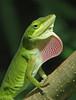 Green anole on display - yesterday (Vicki's Nature) Tags: greenanole male displaying dewlap green pink strawberry august biello georgia lizard reptile vickisnature canon s5 6090 texture wild returnnatureprivate return returndamn returnbestdamn