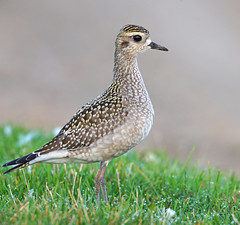 American Golden-Plover (Digital Plume Hunter) Tags: