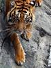 Sumatran tiger (@Mark_Eveleigh) Tags: jungle asia asian indonesia indonesian kerinci nationalpark seblat sumatra west animal wildlife fauna tiger sumatran pantheratigrissumatrae